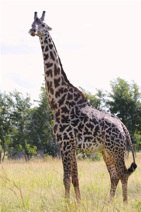 heigth of an adult giraffe jpg 682x1024